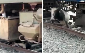 Ταύρος εγκλωβίζεται κάτω από κινούμενο τρένο και επιβιώνει