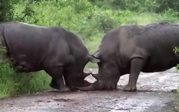 Ρινόκερος εναντίον ρινόκερου σε μια πραγματική… τιτανομαχία