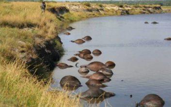 Πνίγηκαν 400 βουβάλια στην προσπάθειά τους να ξεφύγουν από αγέλη λιονταριών