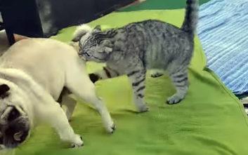 Γάτες γεννημένες για τη μάχη