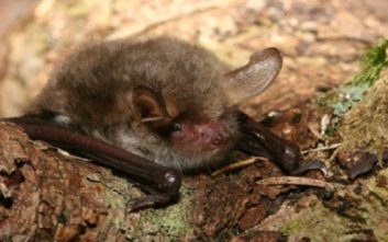Δύο νέα είδη νυχτερίδων ανακαλύφθηκαν στην Ευρώπη και τη Βόρεια Αφρική