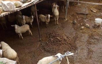 Φυλάκιση έξι μηνών σε κτηνοτρόφο γιατί είχε πρόβατα και σκύλους σε άθλια κατάσταση