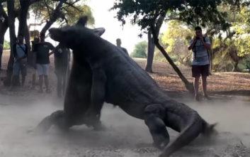 Η εντυπωσιακή μάχη ανάμεσα σε δυο δράκους του Κομόντο