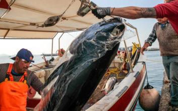 Ψάρεψαν τόνους 300 κιλών στη Νάξο