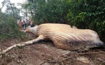 Μυστήριο με νεκρή φάλαινα στη ζούγκλα του Αμαζονίου
