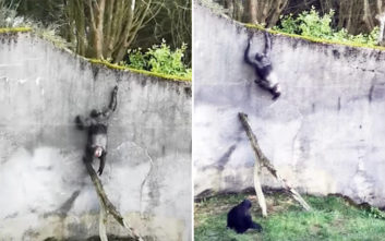 Η μεγάλη απόδραση του χιμπαντζή από τον ζωολογικό στέφθηκε με επιτυχία