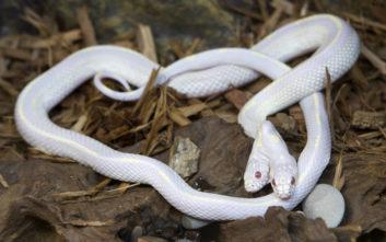 Το παράξενο που συμβαίνει με τα φίδια που γεννιούνται με δυο κεφάλια