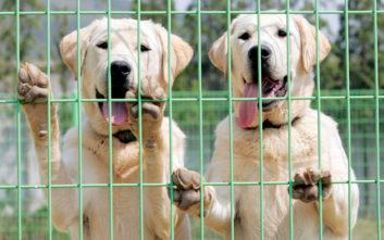 Η Κίνα κλωνοποίησε τον «Σέρλοκ Χολμς των σκύλων»