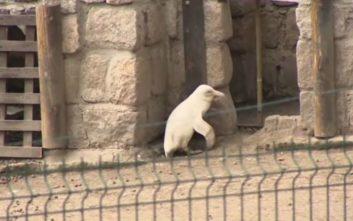Ένας αλμπίνος πιγκουίνος στον ζωολογικό κήπο του Γκντανσκ