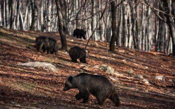 Οι αρκούδες στο καταφύγιο του «Αρκτούρου» ξύπνησαν με μια απουσία