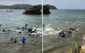 Με τα χέρια προσπαθούσαν οι ντόπιοι να ξεκολλήσουν τις φάλαινες από την ακροθαλασσιά