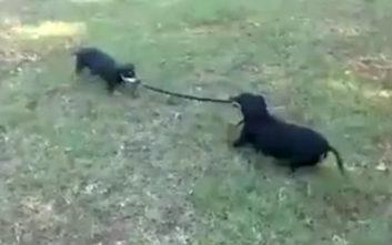 Δυο κουτάβια την πέφτουν σε φίδι