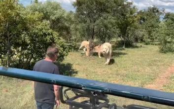 Δείτε πώς υποδέχονται τα λιοντάρια το… αφεντικό τους