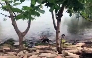 Κροκόδειλος αρπάζει σκύλο και τον σέρνει στα νερά ποταμού