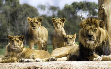Οι δυσκολίες των αρσενικών λιονταριών μέχρι να γίνουν αρχηγοί της αγέλης