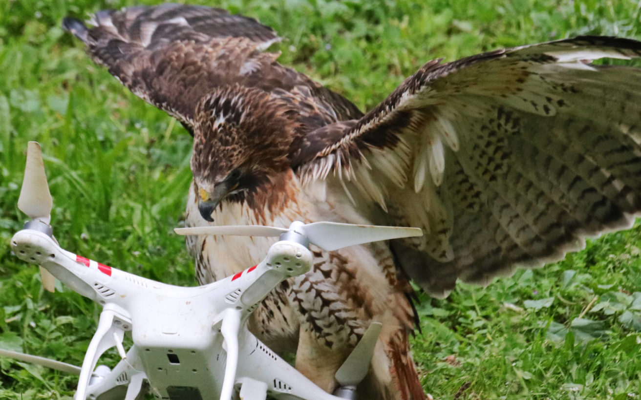 Η Ζήνα είναι το μοναδικό γεράκι στον κόσμο που καταρρίπτει drones