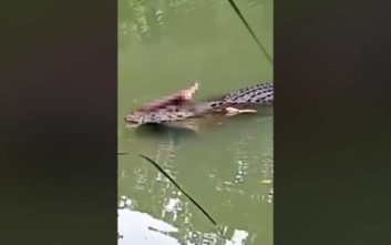 Κροκόδειλος ξεπροβάλει από το νερό και έχει στο στόμα του κάτι πολύ μακάβριο