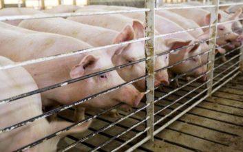 Πώς ο αφρικανικός πυρετός των χοίρων απειλεί με επισιτιστική κρίση το Πεκίνο
