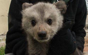 Δύο ορφανά αρκουδάκια βρέθηκαν σε στάνη στην Κοζάνη