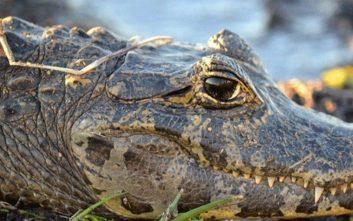 Αλιγάτορες καϊμάν το έσκασαν και κυκλοφορούν ελεύθεροι σε φαβέλα στο Ριο