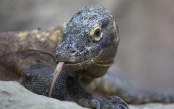 Δράκος του Κομόντο και βασιλική κόμπρα οι νέοι φιλοξενούμενοι ζωολογικού κήπου