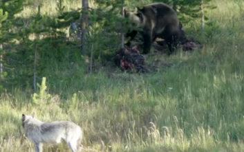 Λύκος εναντίον αρκούδας για μια μπουκιά ελαφιού