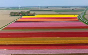 Θαυμάστε την πανδαισία των χρωμάτων στα χωράφια τουλίπας της Ολλανδίας