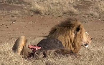 Η άγρια μάχη εντός της αγέλης άφησε ένα μικρό λιοντάρι παράλυτο