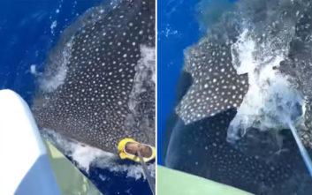 Το μεγαλύτερο ψάρι στον κόσμο ήθελε… χάδια