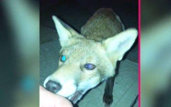 Προσπάθησε να γίνει φίλος με την αλεπού και σύντομα το μετάνιωσε