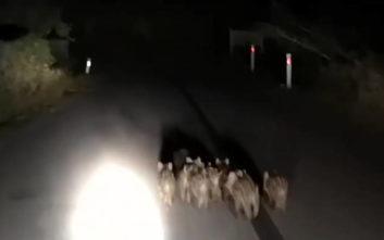 Στη Ναυπακτία γέμισε ο δρόμος μικρά αγριογούρουνα