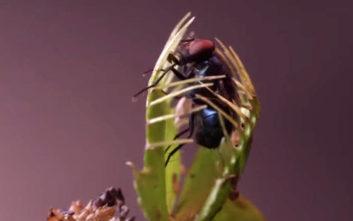 Δείτε ένα σαρκοφάγο φυτό να κατασπαράζει έντομα και αράχνες