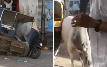 Δύο ταύροι μονομάχησαν και την πλήρωσε ένα τρίκυκλο