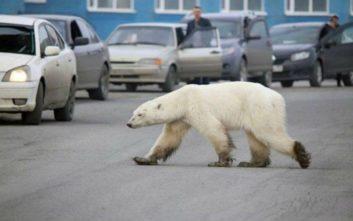 Βρέθηκε η πολική αρκούδα που περιπλανιόνταν πεινασμένη σε πόλη της Σιβηρίας