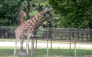 Δύο καμηλοπαρδάλεις σκοτώθηκαν από κεραυνό σε ζωολογικό κήπο των ΗΠΑ