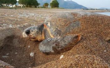 Θαλάσσια χελώνα άφησε τα αυγά της στην παραλία Λεβεντοχωρίου