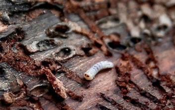 Παρέμβαση της δικαιοσύνης για το έντομο που «σκοτώνει» τα δέντρα στο Σέιχ Σου