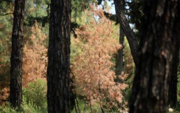 Φλοιοφάγο έντομο έχει προσβάλει δέντρα στο Σέιχ Σου της Θεσσαλονίκης