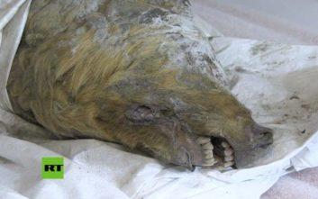 Βρέθηκε κεφάλι προϊστορικού λύκου στη Σιβηρία μετά από 40.000 χρόνια
