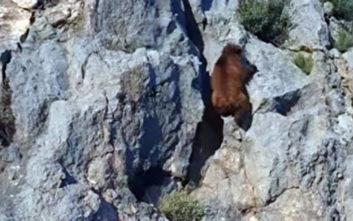 Η αρκούδα... αναρριχητής