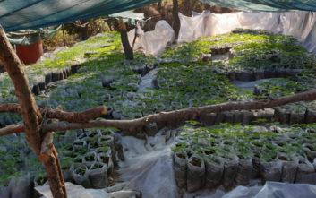 Κύκλωμα καλλιεργούσε κάνναβη στη Βοιωτία με κέρδη 6 εκατομμύρια ευρώ