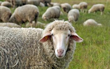 Αφανίστηκε κοπάδι πρόβατα στα Καμμένα Βούρλα, εκτιμάται πως έσκασαν από το φαγητό