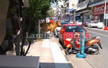 Εικόνες από τη Λαμία όπου ένας ταύρος έκανε βόλτα στο δρόμο