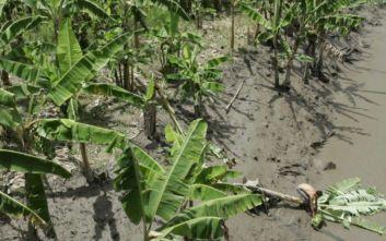 Συναγερμός στην Κολομβία λόγω θανατηφόρου μύκητα για τις μπανανιές
