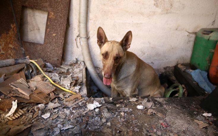 Η σκυλίτσα που έσωσε τα κουτάβια της από την φωτιά στον Υμηττό 11