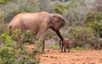 Ελέφαντας χτυπά μικρό με την προβοσκίδα και αναγκάζει τη μητέρα του να επέμβει
