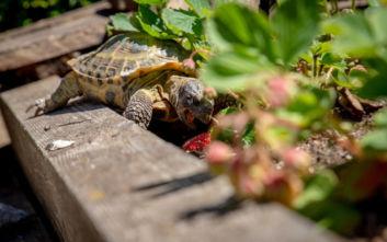 Κατασχέθηκαν περισσότερες από 4.000 χελώνες που λαθρέμποροι τις είχαν χαρακτηρίσει… λάχανα