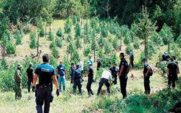 Αστυνομικοί εντόπισαν φυτεία κάνναβης στον Παρνασσό, αλλά δεν βρήκαν τους χασισοκαλλιεργητές
