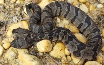Βρέθηκε φίδι με δύο κεφάλια στις ΗΠΑ
