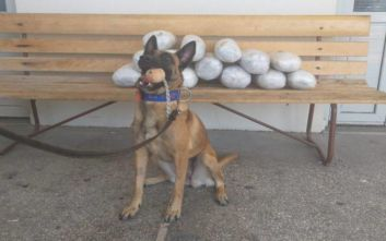 Σκύλος της Αστυνομίας έκανε μπλόκο σε 15,5 κιλά ακατέργαστης κάνναβης